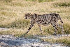Geparda odprowadzenie w trawie w Chobe obraz stock