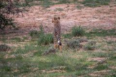 Geparda odprowadzenie zdala od kamery zdjęcia royalty free