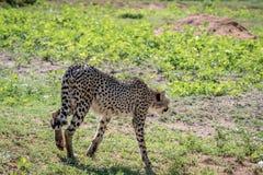 Geparda odprowadzenie zdala od kamery fotografia royalty free