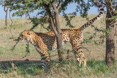 Geparda perfumowania ocechowania drzewo, Masai Mara, Kenja Obraz Stock