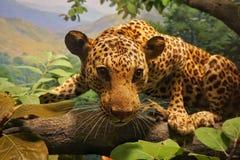 Geparda pokaz w The Field muzeum Obrazy Royalty Free