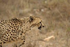 geparda polowanie Zdjęcie Stock