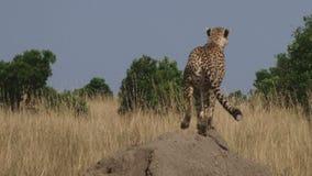 Geparda polowanie w dzikim zbiory