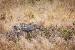 Geparda polowanie w trawie Zdjęcia Royalty Free