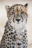 Geparda portret Południowa Afryka Zdjęcie Stock