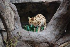 Geparda przycupnięcie na drzewie obrazy royalty free
