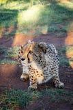 Geparda przycupnięcie na ziemi Fotografia Stock