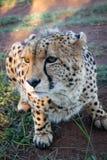 Geparda przycupnięcie na ziemi Obraz Royalty Free