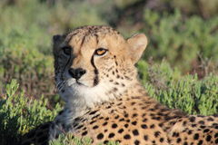 geparda rezerwowa sanbona przyroda Obrazy Royalty Free