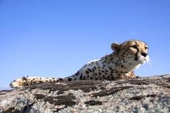 geparda słońce Zdjęcie Royalty Free