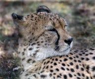 Geparda ` s głowa zdjęcia stock