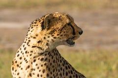 Geparda spojrzenie daleko od i Zdjęcie Royalty Free