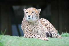 geparda target955_0_ Obrazy Royalty Free
