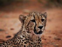 geparda up zamknięty obrazy stock