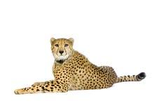 geparda w dół leżeć Fotografia Royalty Free