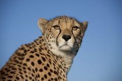 geparda zmierzch Obraz Stock