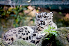 geparda zoo fotografia royalty free