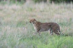 Gepardanpirschen Stockfoto
