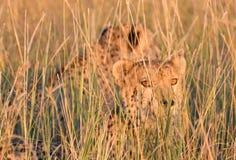 Gepardbrüder Stockbilder