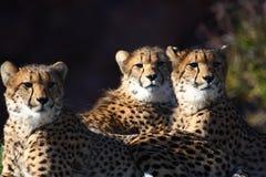 Gepardbrüder lizenzfreies stockfoto