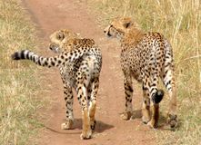 Gepardbruders auf Masai Mara. Stockbild