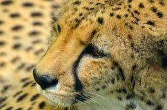 Gepardcloseup Royaltyfri Fotografi