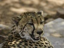 Geparde in der Mitte Hoedspruit-bedrohter Art Stockfotografie