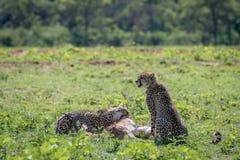 Geparde, die auf eine männliche Impalatötung einziehen stockbild