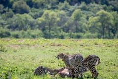 Geparde, die auf eine männliche Impalatötung einziehen lizenzfreies stockbild