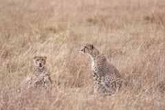 Geparde, die im hohen Gras stillstehen lizenzfreie stockfotografie
