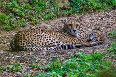 Geparde, die im Schatten stillstehen Lizenzfreies Stockfoto