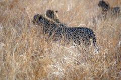 Geparde im hohen Gras in Nationalpark Pilanesberg Lizenzfreie Stockfotos