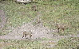 Geparde im Park Stockfotografie