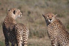 Geparden Stockfoto