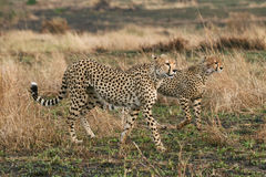 Geparden Lizenzfreies Stockbild