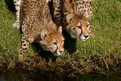 Geparden Lizenzfreie Stockfotografie