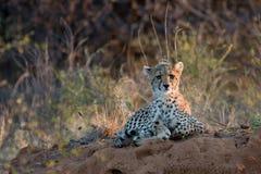 Geparden behandla som ett barn på solnedgången som ligger på den afrikanska savannahen som SAD ser in i avståndet Royaltyfri Fotografi