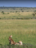 Geparden, die auf den Ebenen liegen Lizenzfreie Stockfotografie