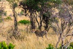 Geparden går in i busken kenya Arkivfoton