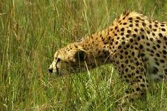 Geparden stjälas på Afrika royaltyfri bild