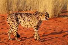 Geparden varnar - Namibia africa arkivbilder