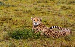Geparder av Serengeti, Tanzania Arkivfoto