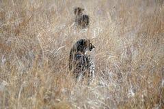 Geparder i högväxt gräs i den Pilanesberg nationalparken Fotografering för Bildbyråer