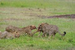 Geparder på ett byte, Maasai Mara, Kenya, Afrika arkivfoto