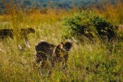 Geparder som går i Sydafrika royaltyfri fotografi