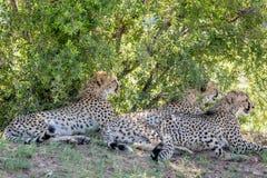 Geparder som lägger i gräset under en buske royaltyfri foto