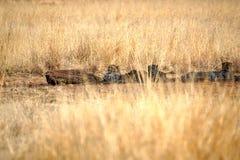 Geparder som ligger i skuggan i den Pilanesberg nationalparken Royaltyfria Foton