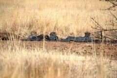 Geparder som ligger i skuggan i den Pilanesberg nationalparken Royaltyfria Bilder