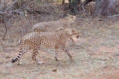 Geparder som står upp royaltyfri fotografi