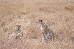 Geparder som vilar i högväxt gräs royaltyfri fotografi